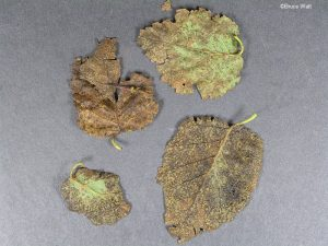 Infected leaves