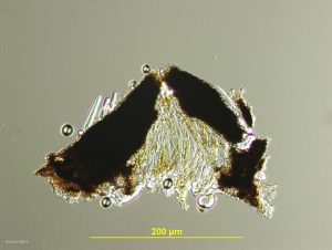 Hysterothecium, vertical section