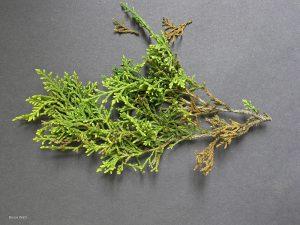 Hysterothecia abundant on dying foliage