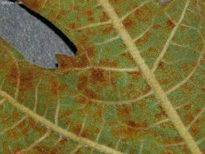 Underside of infected leaf showing brownish uredinia