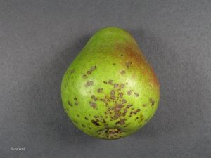 Scab lesions on fruit