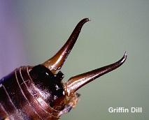 Earwig Pincers