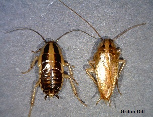 German Cockroach - (Left - Immature) - (Right - Adult)