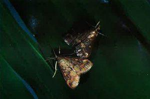 Figure 1: corn borer moths