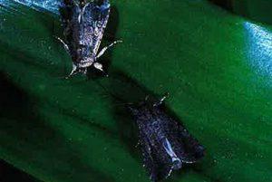 Figure 10: fall armyworm moths
