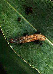 Figure 11: fall armyworm larva