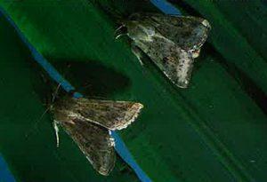 Figure 7: corn earwom moths