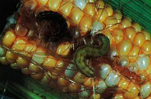 Figure 8: corn earworm larvae