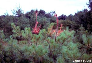 White Pine Weevil - damage