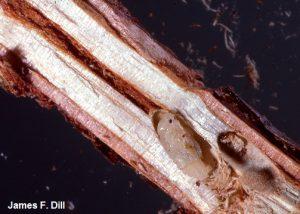 White Pine Weevil - pupa