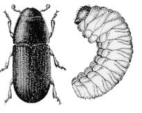 Illustration of Bark Beetle and Larva