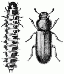 Illustration of Flour Beetle larva and adult