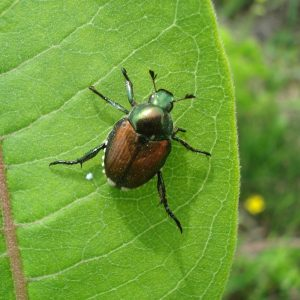 Photo of a Japanese Beetle on a milkweed leaf.
