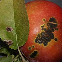 apple scab image for plant disease button