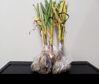 Example of preparing a sample of garlic for submitting to our plant pathology lab.