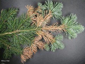 Symptoms of Rhizosphaera Needlecast on a conifer branch