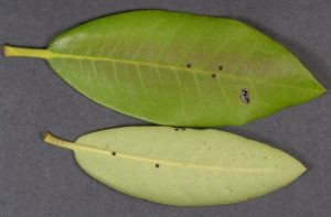 Ejected peridioles stuck to Rhododendron Leaves