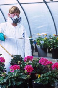 woman wearing a respirator spraying pesticide on plants in a greenhouse