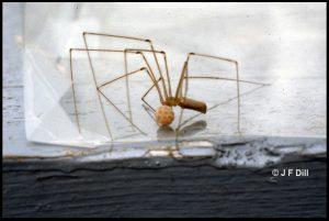 a female Cellar spider guarding her egg sac