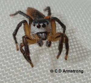 an example of a Jumping Spider