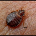 a Bed Bug