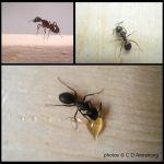 Three separate photos of a Carpenter Ant