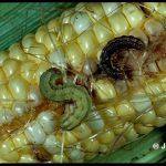 a pair of Corn Earworm larvae feeding on an ear of corn