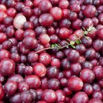 a pile of Maine cranberries