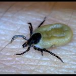 a partially engorged female deer tick