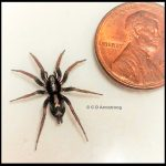 an Eastern Parson Spider next to a US penny