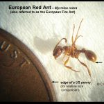 a European Red Ant beside a US penny