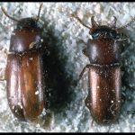 a pair of Broadhorned Flour Beetles
