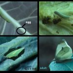 4 life stage images of Imported Cabbageworm (egg, larva, pupa and adult)