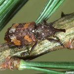 a White Pine Weevil adult