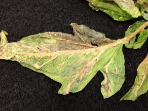 A tomato leaf showing Intumescence symptoms.