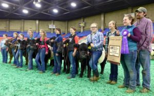 Aldermere Achievers 4-H Club (Rockport) and their cattle in Kentucky at the National Belted Galloway Show.