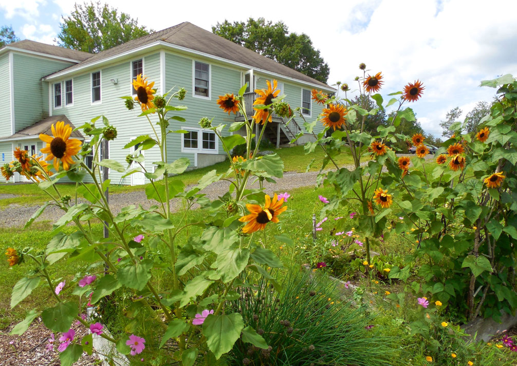 sunflowers in raised beds
