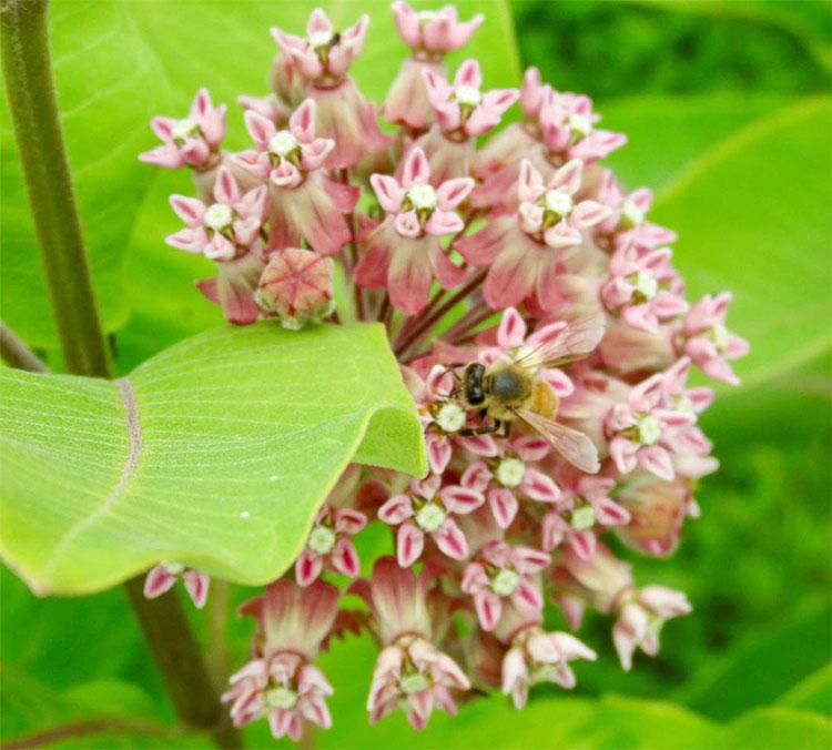 bee on milkweed