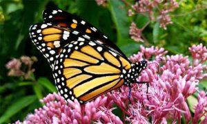 Monarch butterfly on Joe-Pye weed