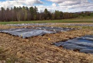 straw and compost mulch and tarping test plots