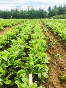 Agriculture field of spinach