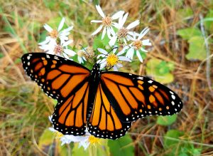 Monarch butterfly on wood aster