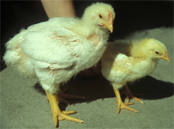 Figure 1. Experimentally salt-deprived (on right) versus normally fed (on left) 3 week-old broiler chicks. Photo by H. Michael Opitz.