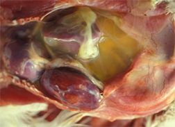 Figure 2. The abdominal and thoracic cavity of a broiler with ascites syndrome, which can often follow salt deficiency. Yellowish fluid can be seen in the abdomen, and the liver is firm and swollen. Photo by H. Michael Opitz.