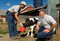 two farmers feeding a calf
