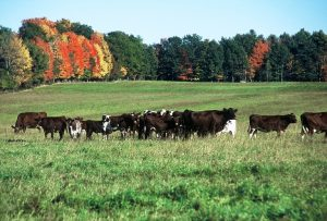 cows at Longmeadow Farm