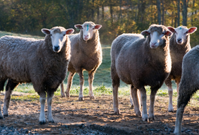 2018 Maine Sheep Conference and Annual Meeting - Cooperative