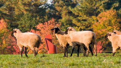 sheep in pasture; photo by Edwin Remsberg