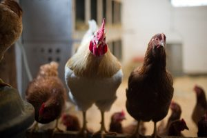 chickens in barn; photo by Edwin Remsberg