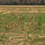 cover crop in corn field